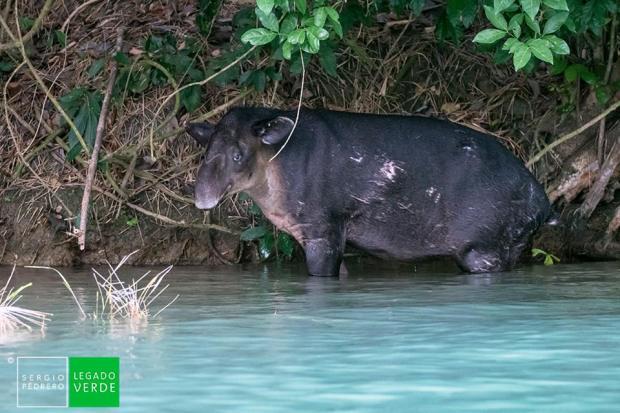 1 Tsimin Tapir centroamericano